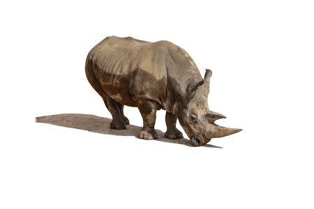 Rhinoceros, rhino Animal and Wildlife Portrait Isolated with shadow