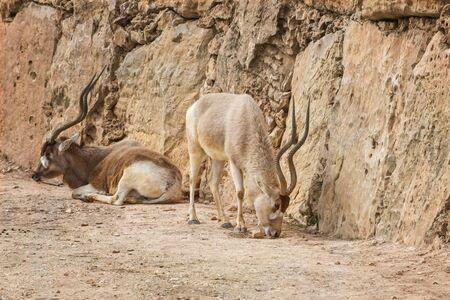 Addax, Addax nasomaculatus, white antelope, screwhorn antelope. Animal and Wildlife Portrait