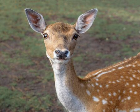 Sika deer, the spotted deer, the Japanese deer. Wildlife and animal photo Фото со стока