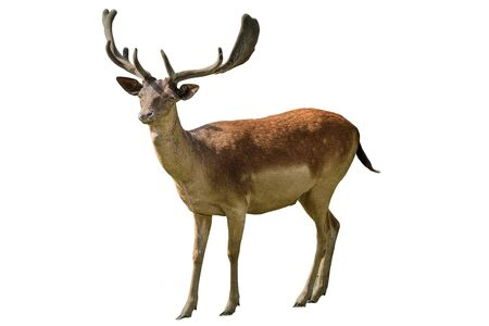Red deer is one of the largest deer species. Isolated