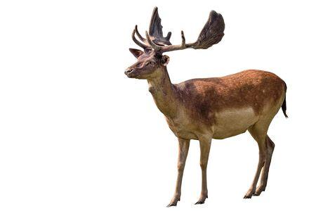 Red deer, Cervus elaphus is one of the largest deer species. Isolated