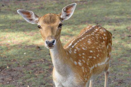 Sikahirsch, Cervus nippon, der gefleckte Hirsch, der japanische Hirsch. Nahaufnahme. Tier- und Tierfoto