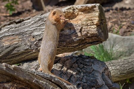 Mongoose with long faces and bodies, small, rounded ears, short legs, and long, tapering tails. Wildlife animals. Portrait