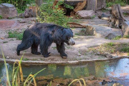 Sloth bear, Melursus ursinus, labiated bear with long lower lip. Wildlife animals. Portrait Reklamní fotografie