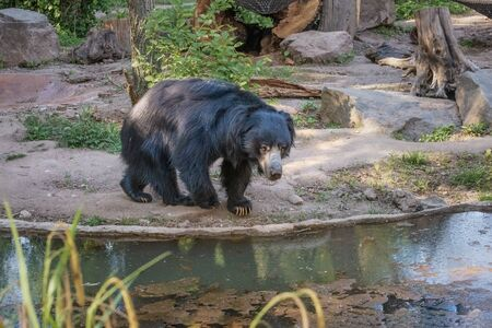 Sloth bear, Melursus ursinus, labiated bear with long lower lip. Wildlife animals