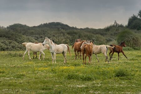 Thoroughbred horses grazing in green pasture outdoors in Israel. Rural peacefully landscape