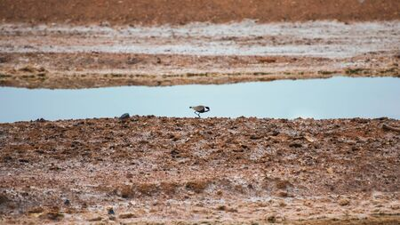 Spur-winged lapwing, spur-winged plover, Vanellus spinosus, a lapwing species. Minimalistic spring landscape with a bird on the lake. Bird watching in Israel, Eilat