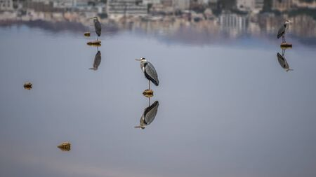 Spring landscape with a heron on the stone in the lake at first light. Long-legged predatory wading grey heron. Bird watching in Israel, Eilat. Minimalistic nature background for desktop wallpaper