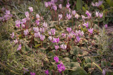 Glade of wild blooming purple cyclamen. Cyclamen purpurascens. Spring landscape in Israel. Photo for wallpaper, background, interior