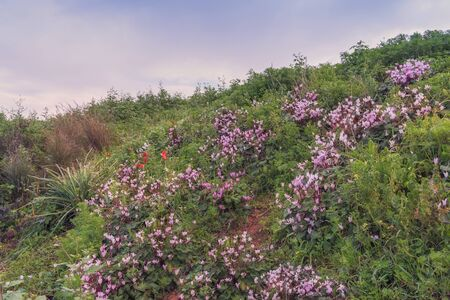 Glade of wild blooming pink purple cyclamen and tulips. Spring landscape in Israel. Photo for computer wallpaper, background
