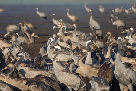 Common crane in Birds Natural Habitats, Hula Valley in Israel, a resting place for 500 million birds. Bird watching of Flocks of migrating birds. Birds travelling from Europe to Africa and Asia Imagens