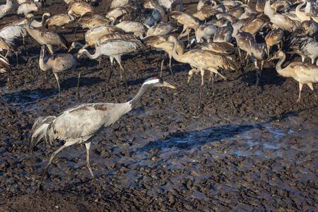 Common crane in Birds Natural Habitats. Flocks of migrating birds in Nature Reserve. Close up