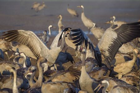 Common crane in Birds Natural Habitats, resting place for 500 million birds. Flocks of migrating birds in Nature Reserve. Birds travelling from Europe to Africa and Asia Imagens
