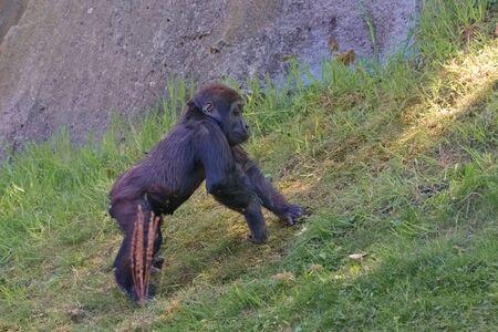 Western chimpanzee, West African chimpanzee, Pan troglodytes verus. Portrait of infant. Animals in natur reserve