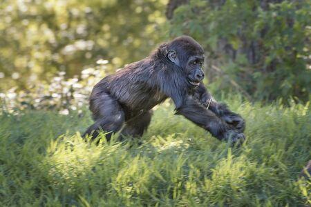 Western chimpanzee, West African chimpanzee, Pan troglodytes verus. Chimpanzee infant is playing. Animals in natur reserve