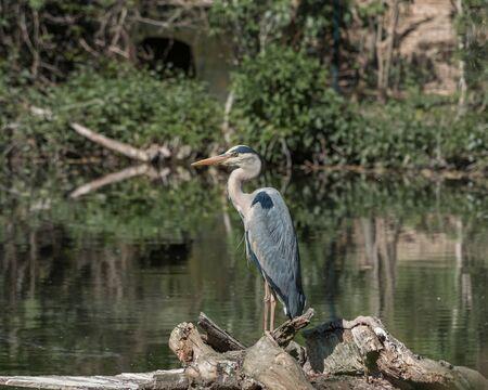 Grey heron, Ardea cinerea, a long-legged predatory, large bird standing in water. Nature landscape. Bird watching Imagens
