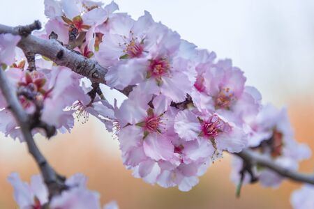 Almond pink blossoms. Interiour photo