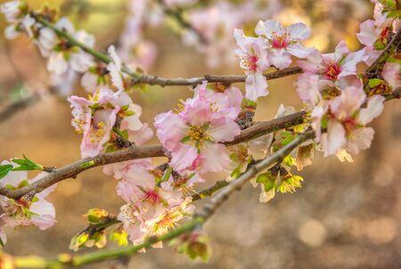 Almond blossoms in Israel. Spring landscape