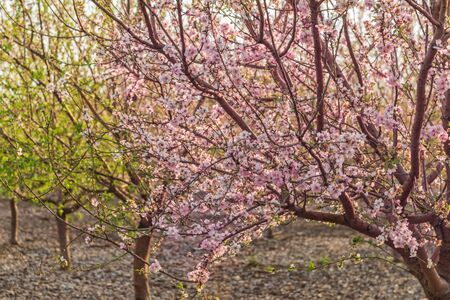 Almond tree with pink blossoms in the grove. Interior photo