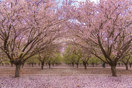 Alley in the pink blooming almond grove. Spring landscape in Israel. Interior photo Imagens