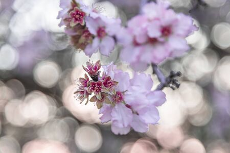 Almond pink blossoms on the bokeh background. Spring landscape. Interior photo