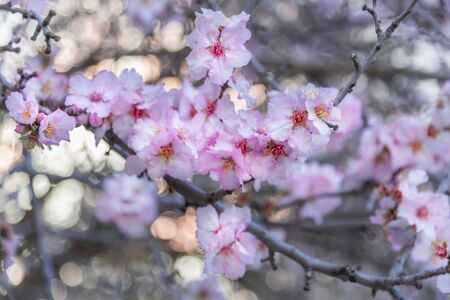 Branch with beautiful almond pink flowers. Landscape. Minimalism style interior photo