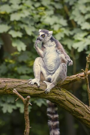 Ring Tailed Lemur, Lemur Catta, a strepsirrhini primate with an extremely long, heavily furred tail, covered with black and white rings. The symbol of Madagascar Imagens