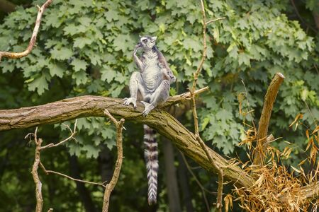 Ring Tailed Lemur, Lemur Catta, a strepsirrhine primate with an extremely long, heavily furred tail, covered with black and white rings. Animals wildlife
