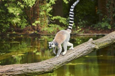 Ring-tailed lemur, Lemur catta, a strepsirrhine primate, with a protruding muzzle and a wet nose. Animals in wildlife. The symbol of Madagascar
