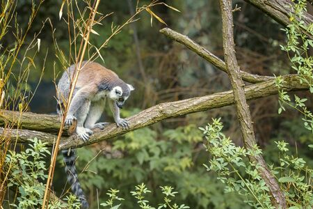Ring Tailed Lemur, Lemur Catta, a strepsirrhini primate with an extremely long, heavily furred tail, covered with black and white rings. Animals in wildlife. Portrait Imagens