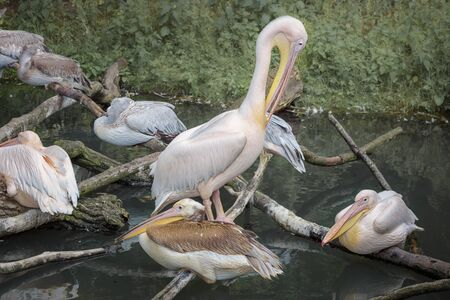 American white pelicans sleeping on the branches in a group. Close up Imagens