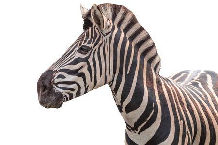 Chapman's zebra, Equus quagga chapmani, plains zebra with pattern of black and white stripes. Portrait. Isolated 免版税图像
