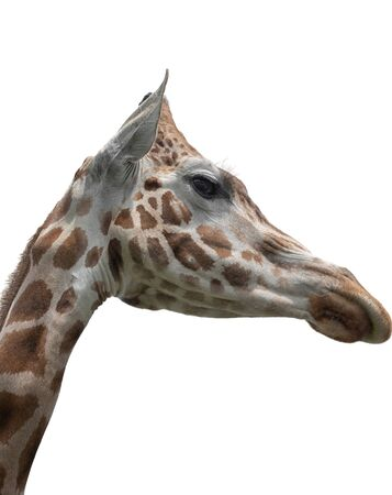 Elegant and exalted giraffes, Giraffa camelopardalis. The head and the long neck of giraffe. Portrait Interior vertical photo Isolated