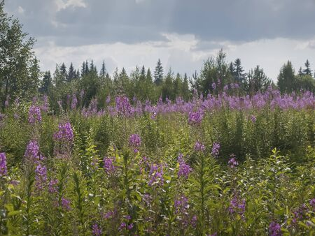 Field of flowering plants Chamaenerion in front of a forest in Karelia, Russia for famous Ivan tea or Koporye tea. Summer rural landscape. Forest edge