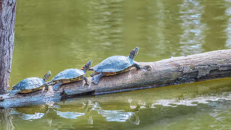 Common snapping turtle on a fallen log in a small pond. Landscape. Animals in the wildlife