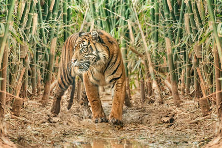 Sumatran tiger with dark fur and wide stripes in a bamboo forest. Animals in wildlife. Portrait