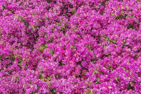 Bougainvillea, a genus of thorny ornamental vines, bushes, and trees belonging to the four o 'clock family, Nyctaginaceae. Popular cultivated ornamental plant. Flowers for parks, gardens, rooms