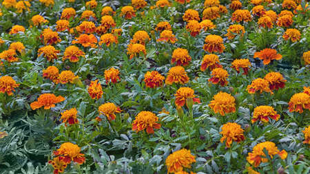 Tagetes patula, the French marigold, a species of flowering plant in the daisy family. Popular cultivated ornamental plant. Flowers for pathway edgings, border fronts, and rock gardens