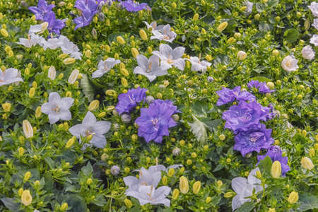 Bellflower, Campanula haylodgensis with long-lasting, fully double blooms. Popular cultivated ornamental plant. Flowers for pathway edgings, border fronts, and rock gardens. Decor for garden and parks