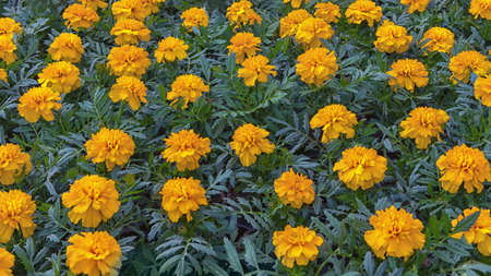 Tagetes patula, the French marigold, a species of flowering plant in the daisy family. Flowers for pathway edgings, border fronts, and rock gardens