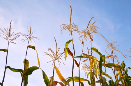 Corn stems growing in the field against the sky background Stock Photo - 13832933