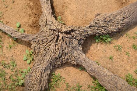 starlike: Starlike tree root on brown soil in Sri Lanka