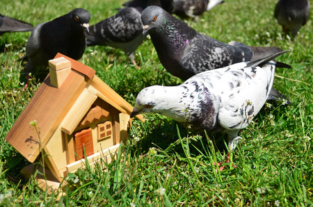 guessing: Pigeon is guessing whether the house is free
