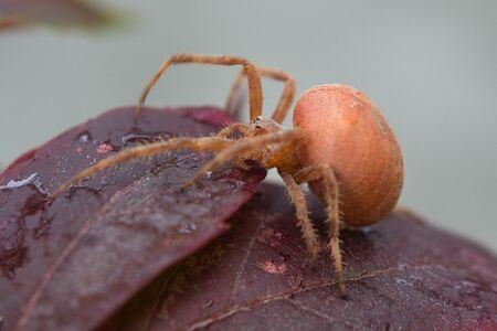 Red spider on claret basil leaves.