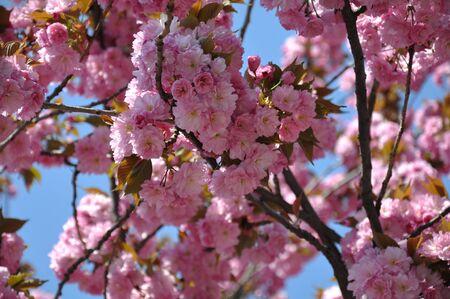 Abundant lush flowering of cherry blossoms under the blue sky in spring.