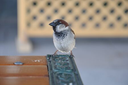 The urban (brownie) sparrow (Passer domesticus) sits on the edge of the table with a metallic inset.