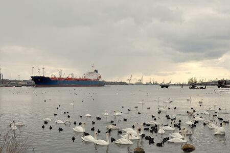 Swans and ducks in the foreground, and in contrast to them, in the background, the port, ships, the remains of the old pier, cranes and other equipment in winter in cloudy weather on the sea.