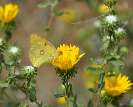 In the garden, a yellow butterfly sits on a yellow flower in summer. Stock Photo
