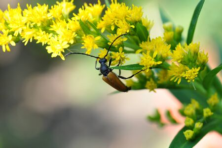 Leptura red - Stictoleptura rubra. Beetle on a plant with yellow flowers of goldenrod.