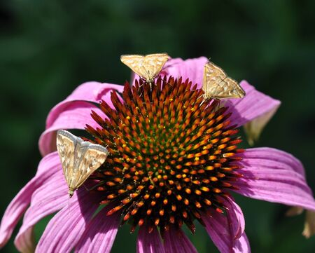 Feast. Three small moths on the flower of pink Echinacea drink nectar. Stock Photo